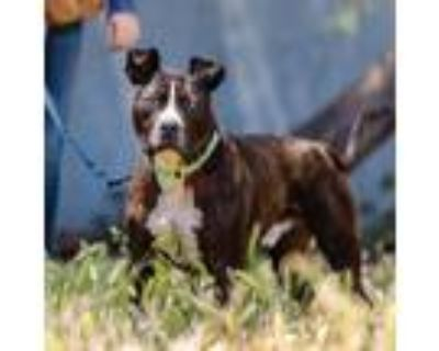 Adopt Eggo a Black - with White American Pit Bull Terrier / Mixed dog in