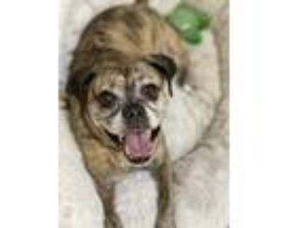 Adopt Sally Sue a Brindle Pug / Mixed dog in Rockville, MD (31114327)