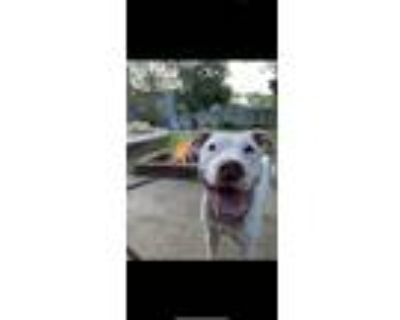 Adopt Lucy a White American Pit Bull Terrier dog in Brookville, OH (31716133)