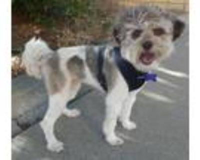 Adopt Jared a Gray/Silver/Salt & Pepper - with White Shih Tzu / Poodle