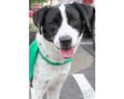Adopt Ressi a Black - with White Border Collie / Mixed dog in Washington