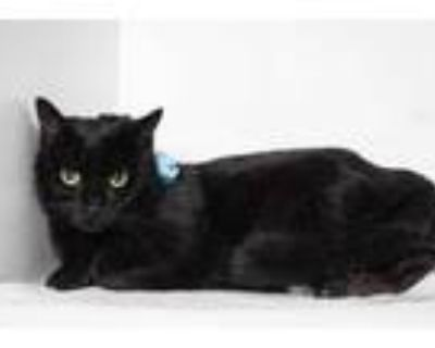 Adopt Dipstick (Working Cat) a All Black Domestic Shorthair / Domestic Shorthair