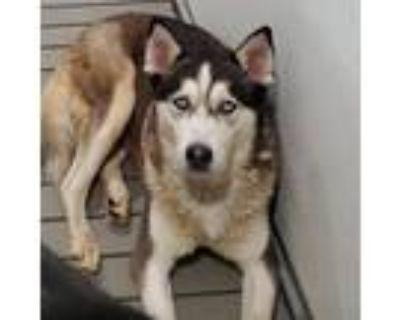 Adopt Zul a Black Husky / Husky / Mixed dog in Colorado Springs, CO (31967195)