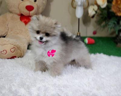Teaup Pomeranian Sable Puppy