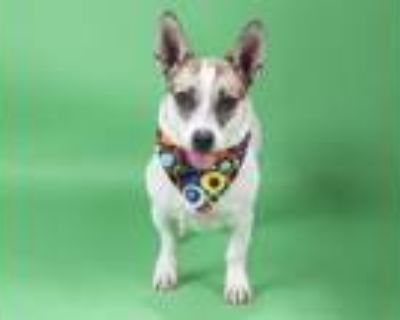 Adopt ABBY a Parson Russell Terrier, Dachshund