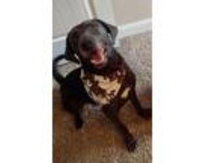 Adopt Goose a Black Labrador Retriever / Weimaraner / Mixed dog in Denver