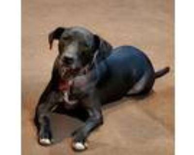 Adopt Scout a Labrador Retriever, Retriever