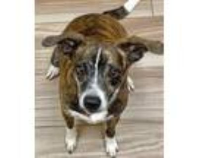 Adopt Dexter a Black Rat Terrier / Mixed dog in Burleson, TX (31540625)