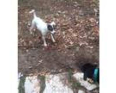 Adopt Dasher a Beagle, Labrador Retriever