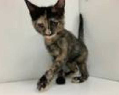 Adopt Lavender a All Black Domestic Shorthair / Mixed cat in Boulder