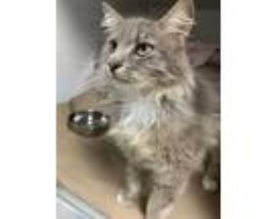 Adopt PENNE a Gray or Blue Domestic Longhair / Mixed (long coat) cat in Boston