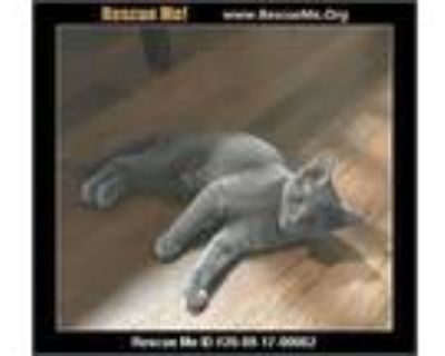 Adopt Charlotte a Gray or Blue (Mostly) Domestic Shorthair (short coat) cat in