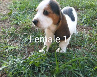 Bassett Hound puppies full AKC registration