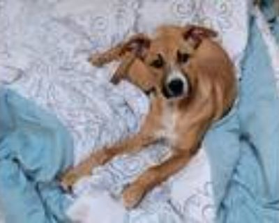 Adopt Sammie a Hound (Unknown Type) / Mixed Breed (Medium) / Mixed dog in Fort