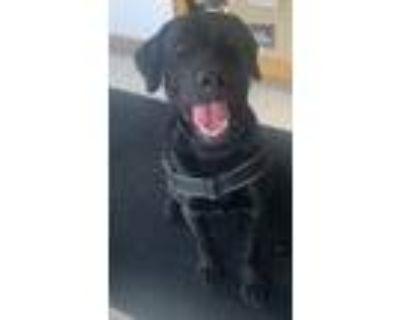 Adopt Ruger a Black Labrador Retriever