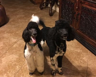 Standard Parti Poodle Puppies For Sale