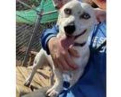 Adopt Choppo a White Corgi / Dachshund / Mixed dog in Cumming, GA (31234641)