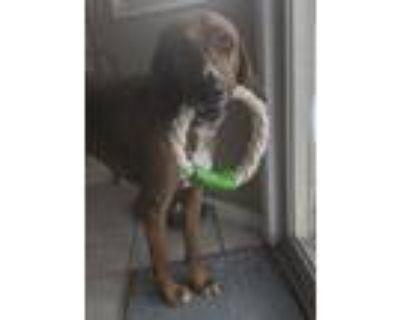 Adopt Koa a Bloodhound, Treeing Walker Coonhound