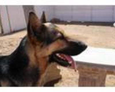 Adopt Reyla a Brown/Chocolate - with Tan German Shepherd Dog / Mixed dog in