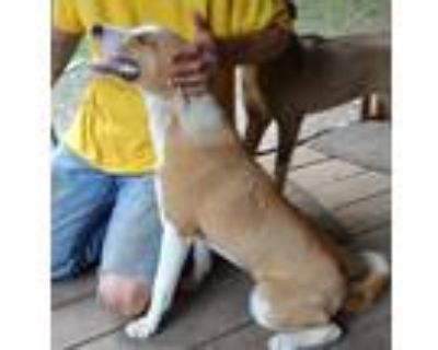 Adopt Nome a Brown/Chocolate - with White Husky / Mixed dog in Dale