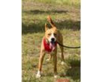 Adopt Goodboy a Brown/Chocolate - with White Labrador Retriever / Boxer / Mixed