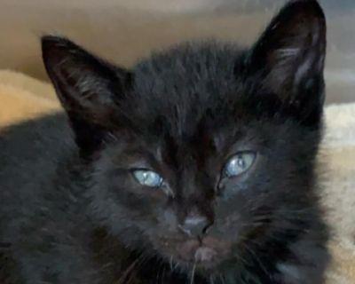Chunky Charles - Domestic Shorthair - Kitten Male