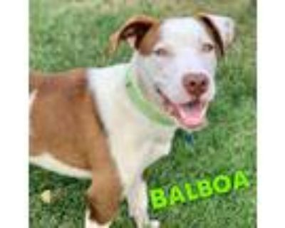 Adopt Balboa a Brown/Chocolate - with White Pit Bull Terrier / Mixed Breed