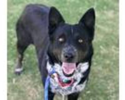 Adopt MINNIE a Black - with White Border Collie / Australian Cattle Dog / Mixed