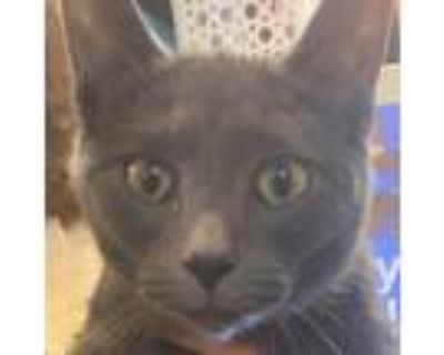 Adopt Jamal a Gray or Blue Domestic Shorthair / Domestic Shorthair / Mixed cat
