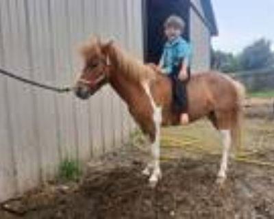 Paint pony mare