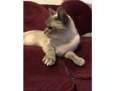 Adopt Salome a Gray or Blue Siamese / Mixed cat in Burbank, CA (31899086)
