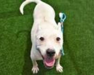 Adopt ZIPPO a American Staffordshire Terrier, Mixed Breed