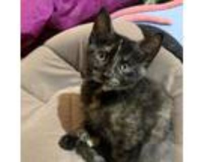 Adopt Holiday Fan a Domestic Shorthair / Mixed cat in Potomac, MD (31967389)