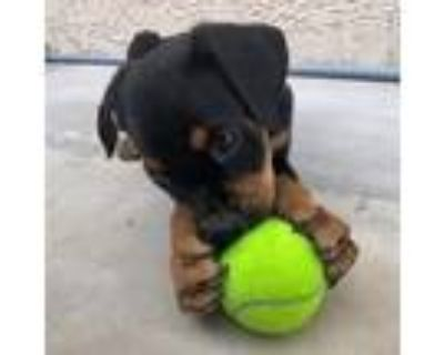 Adopt Snorkel a Black - with Tan, Yellow or Fawn Shepherd (Unknown Type) / Mixed