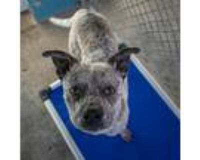 Adopt Asher a White - with Tan, Yellow or Fawn Australian Cattle Dog / Boxer dog