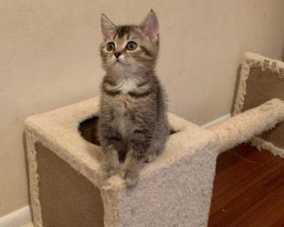 Scottish fold/ straight kittens