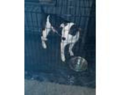 Adopt Bo a Black - with White Jack Russell Terrier / American Pit Bull Terrier /