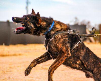 Dutch Shepherd Puppy for Sale - Boomer