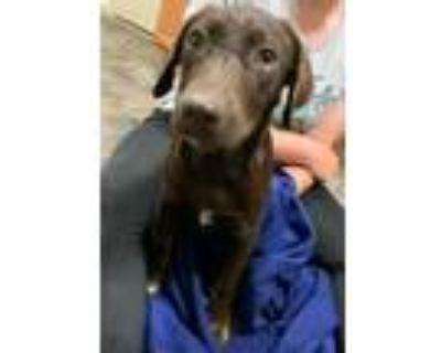 Adopt Norma a Labrador Retriever, Mixed Breed