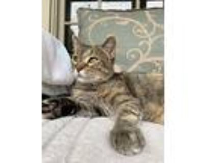 Claire, Domestic Shorthair For Adoption In Houston, Texas