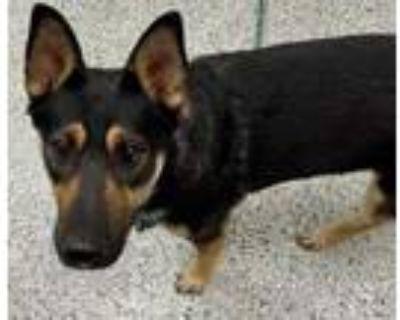 Adopt Elise a Black German Shepherd Dog / Mixed dog in Kansas City