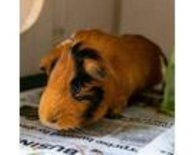 Adopt Peanut Butter w/ Cashew a Black Guinea Pig / Guinea Pig / Mixed small