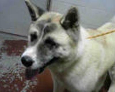 Adopt KEEMA a White Akita / Mixed dog in Atlanta, GA (31435708)