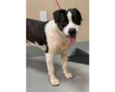 Adopt Zig Zag 603-21 a Pit Bull Terrier, Mixed Breed