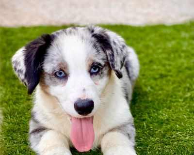 Beautiful Blue Merle and Blk/Wht Cardigan Welch Corgi Pups!