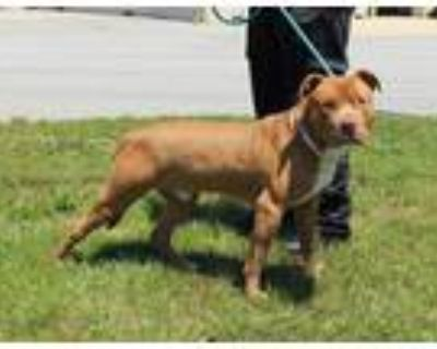 Adopt NOTORIOUS D.O.G. a Pit Bull Terrier