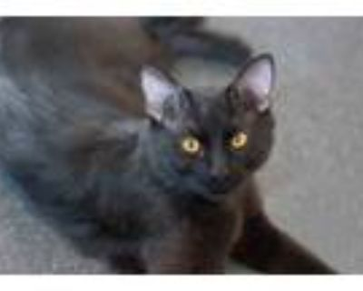 Adopt STANLEY a All Black Domestic Shorthair / Mixed (short coat) cat in