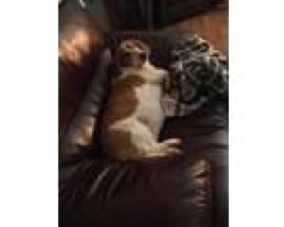 Adopt Daisy Mae a Brindle - with White Basset Hound / Beagle / Mixed dog in