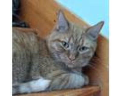 Adopt Pepperoncini a Orange or Red Domestic Shorthair / Mixed cat in Brimfield