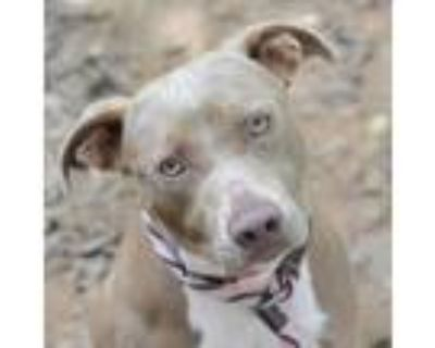 Adopt Shirley a Tan/Yellow/Fawn American Pit Bull Terrier / Mixed dog in